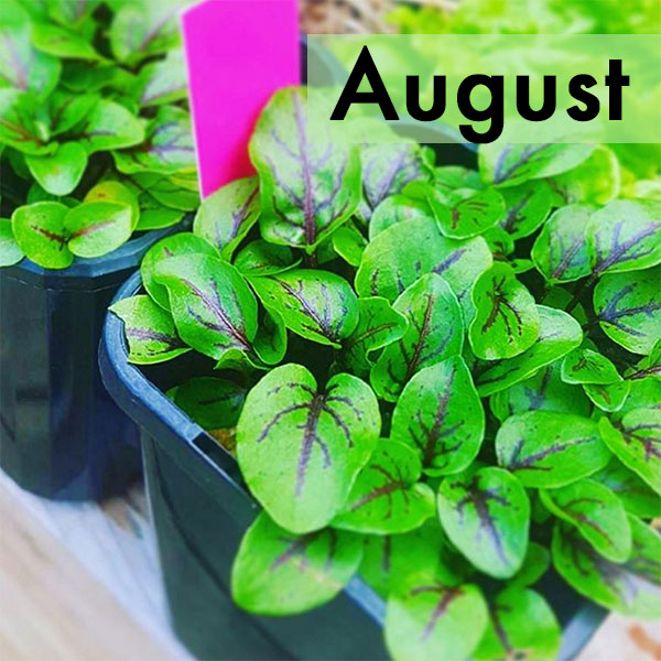 what-to-grow-in-august-melbourne-sydney