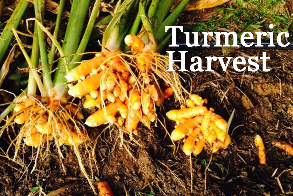 The Ultimate Guide To Growing Ginger Amp Turmeric Why You