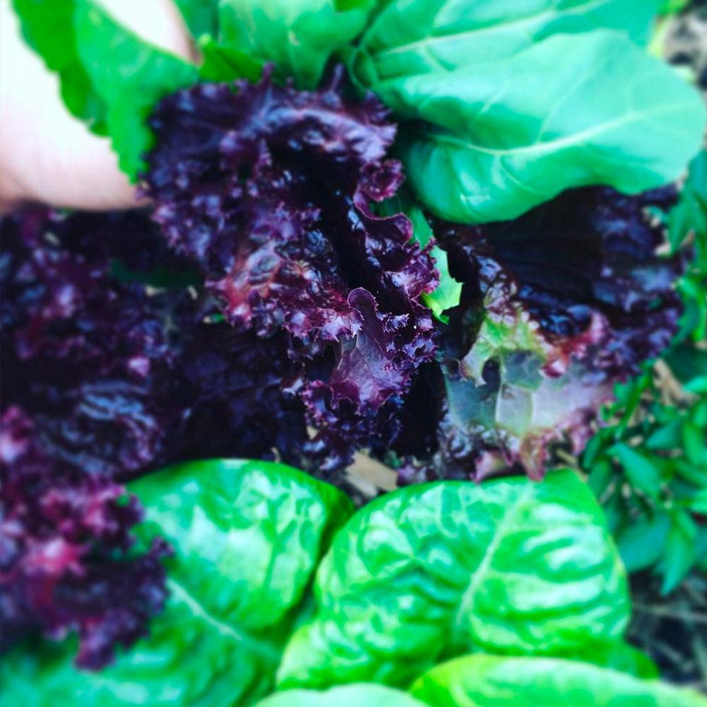 A fresh harvest of lettuce, silverbeet & rocket - Pin Me!