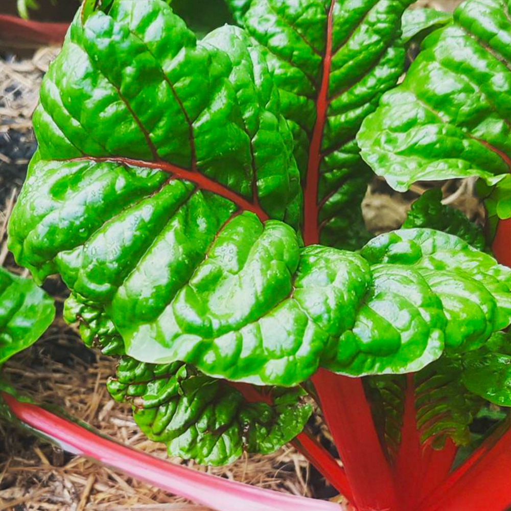 Our Ruby Red Silverbeet about to be harvested! - Pin Me!