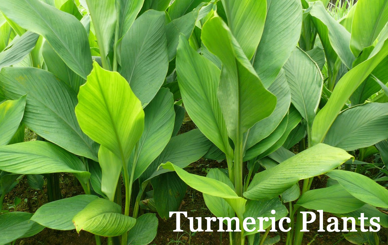 the-ultimate-guide-to-growing-turmeric-and-ginger-plus-why-you-should-turmeric-plants